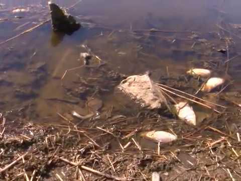 ფოთში თევზის მასიური დახოცვის მიზეზი ცნობილია