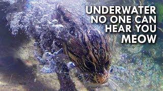 Fishing Cat: The Cat That Hunts Underwater