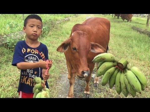 Con bò - Ben cho con bò ăn quả chuối - Giải trí nhỏ - cow in vietnam