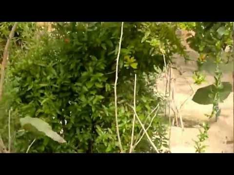 أشجار الرمان المثمرة - Gulf Plants
