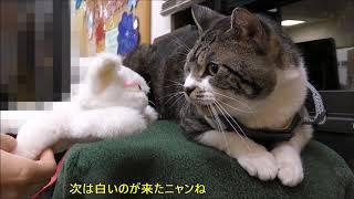 今月も健在☆動物病院に行くとゴジラ化する猫リキちゃん☆シャーと威嚇する猫・怒る猫【リキちゃんねる 猫動画】Cat videos キジトラ猫との暮らし thumbnail