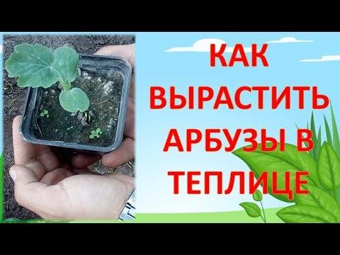 КАК ВЫРАЩИВАТЬ АРБУЗЫ В ТЕПЛИЦЕ. Выращивание арбузов в теплице. Как вырастить арбуз на севере.