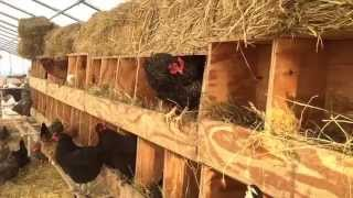 When to Replace Hay in Chicken Nest Boxes