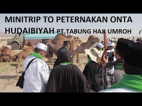 Minitrip to Peternakan Onta Hudaibiyah | Tabung Haji Umroh Tour