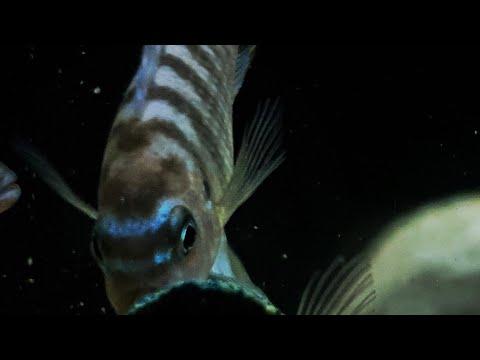 Malawi Aquarium- Metriaclima Fainzilberi Maison Reef