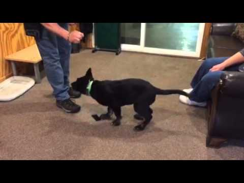ipo-article-indication-training-for-puppies-early-training-and-development-for-tracking