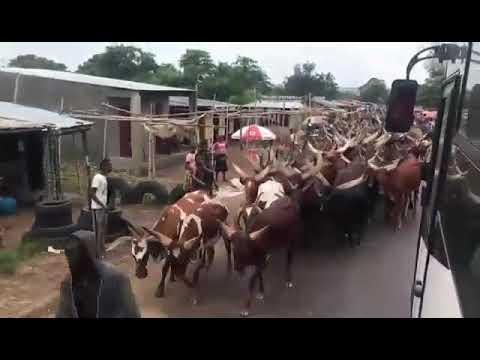 Des vaches Rwandais en kikwit dans la Region de Bandundu ..Les éleveurs Tusti en pleine rue ..i