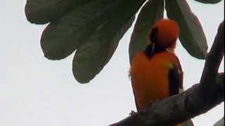 Sounds of birds, Orange-backed Troupial, Icterus croconotus,