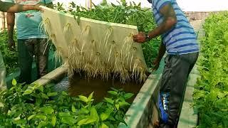 Raihan 01735851266 অ্যাকোয়াপনিক পদ্ধতিতে মাছ ও সবজি চাষ করতে চাইলে যোগাযোগ করুন If you want to cult