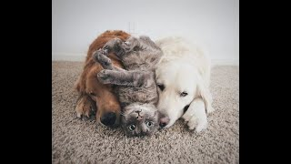CATS AND DOGS Awesome Friendship  Funny Cat and Dog Vines COMBINATION