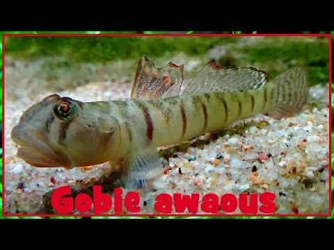 Awaous Flavus - (Valenciennes, 1837) - (Gobiidae) - Awaous - 12/2016