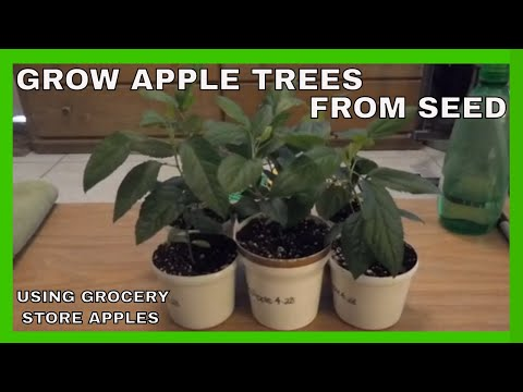 How To Grow Apple Trees From Store Bought Apples – Cold Stratification