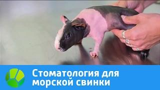 Стоматология для морской свинки | Живая Планета