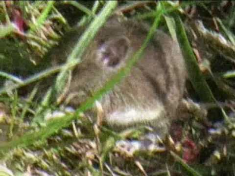Baby bank voles by the Bridgwater & Taunton Canal - Wildlife in the Westcountry