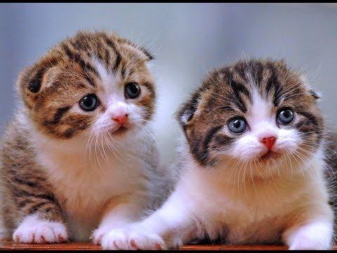 Lagu Populer Anak Kucingku Telu Meong Meong