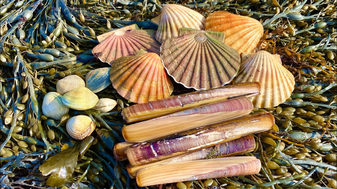 Coastal Foraging for Scallops, Mussels, Cockles, Oysters and Clams with beach fire pit cook up