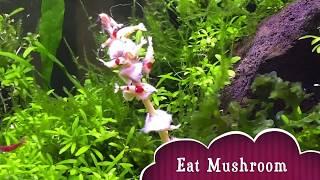 Crystal Shrimp love mushroom 水晶蝦愛吃蘑菇 | Double Violin Concerto 1st Movement – J.S. Bach 巴哈 | 古典樂