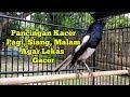 Pasti Kacer Lain Langsung Respon Pancingan Kacer Pagi Siang Sore Agar Lekas Gacor Magpie Robin  Mp3 - Mp4 Download