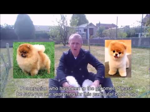 Pomeranian Puppy For Sale Must Watch Before To Purchase A Pomeranian Puppy