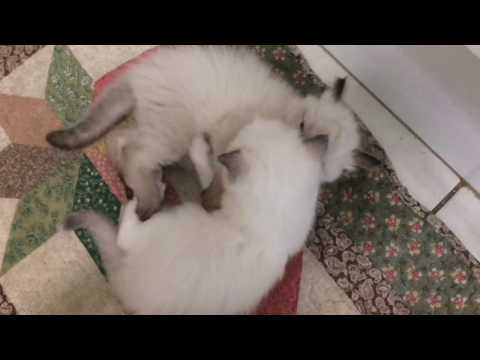 Three Stunning Ragdoll Kittens for Sale!