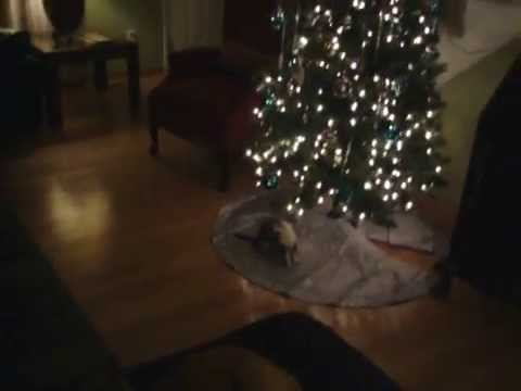 Thor Having Fun - Ferrets Love Christmas Trees