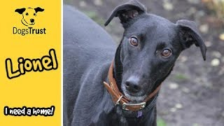 Lovely Lionel is looking for a caring home  | Dogs Trust Manchester