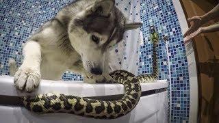 Собаки нашли змею в ванной