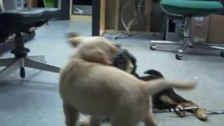 Callie (australian Shepherd) And Fiona (golden Retriever) At The Shop