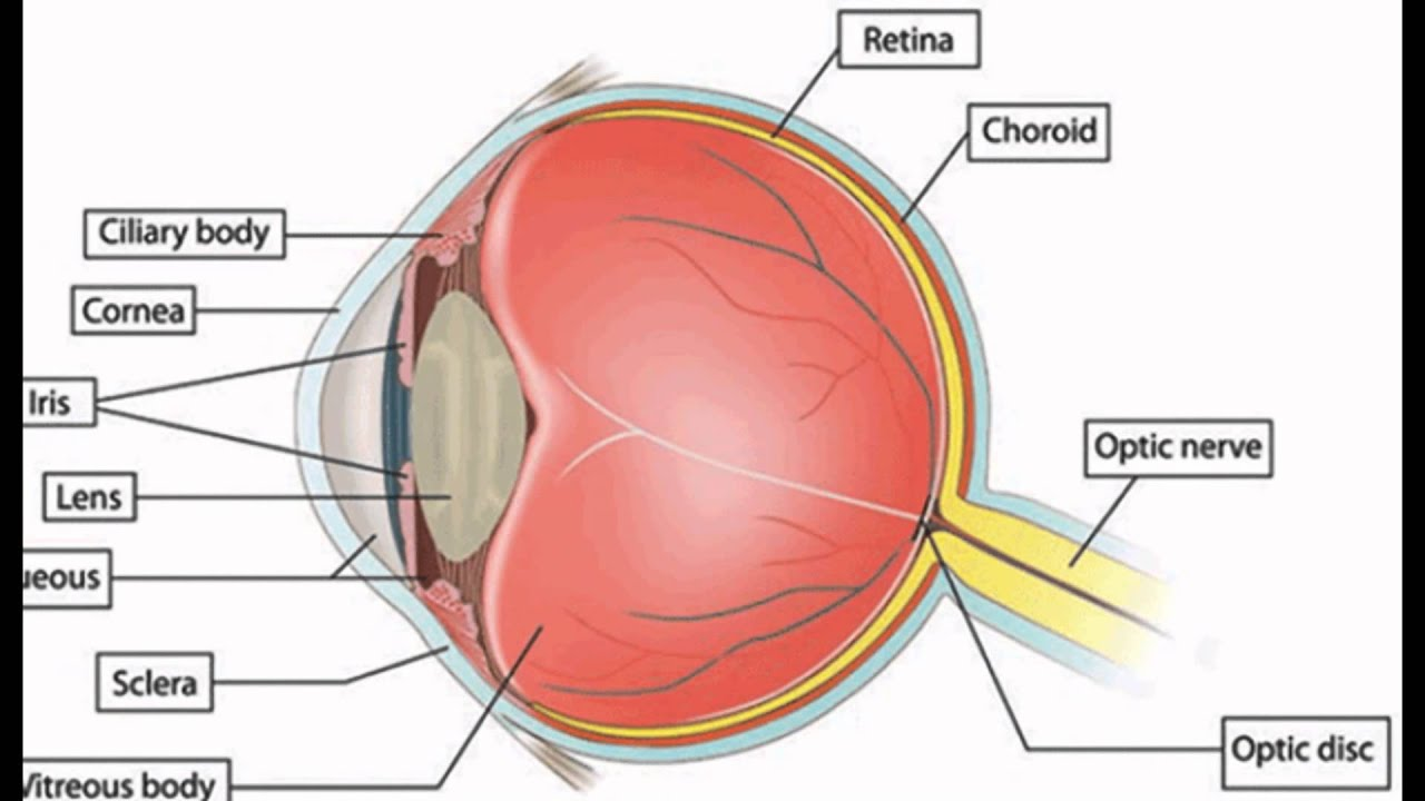 Function Of The Pupil In The Eye - YouTube