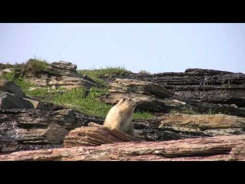 The Marmots of British Columbia: Wildlife in Canada | Owlcation