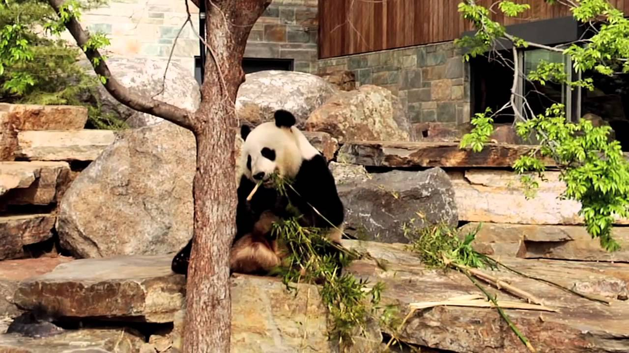 Adelaide Zoo Giant Panda Forest designed by HASSELL - YouTube
