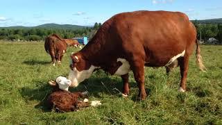 Vache Hereford et son veau nouveau-né