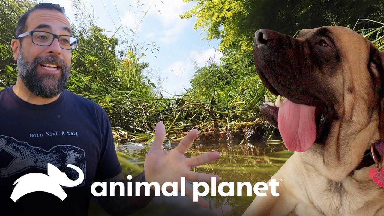 Cadela gigante ganha um jardim só para ela! | Um Lar para Pets | Animal Planet Brasil