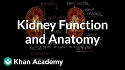 hqdefault - Kidney Function And Anatomy