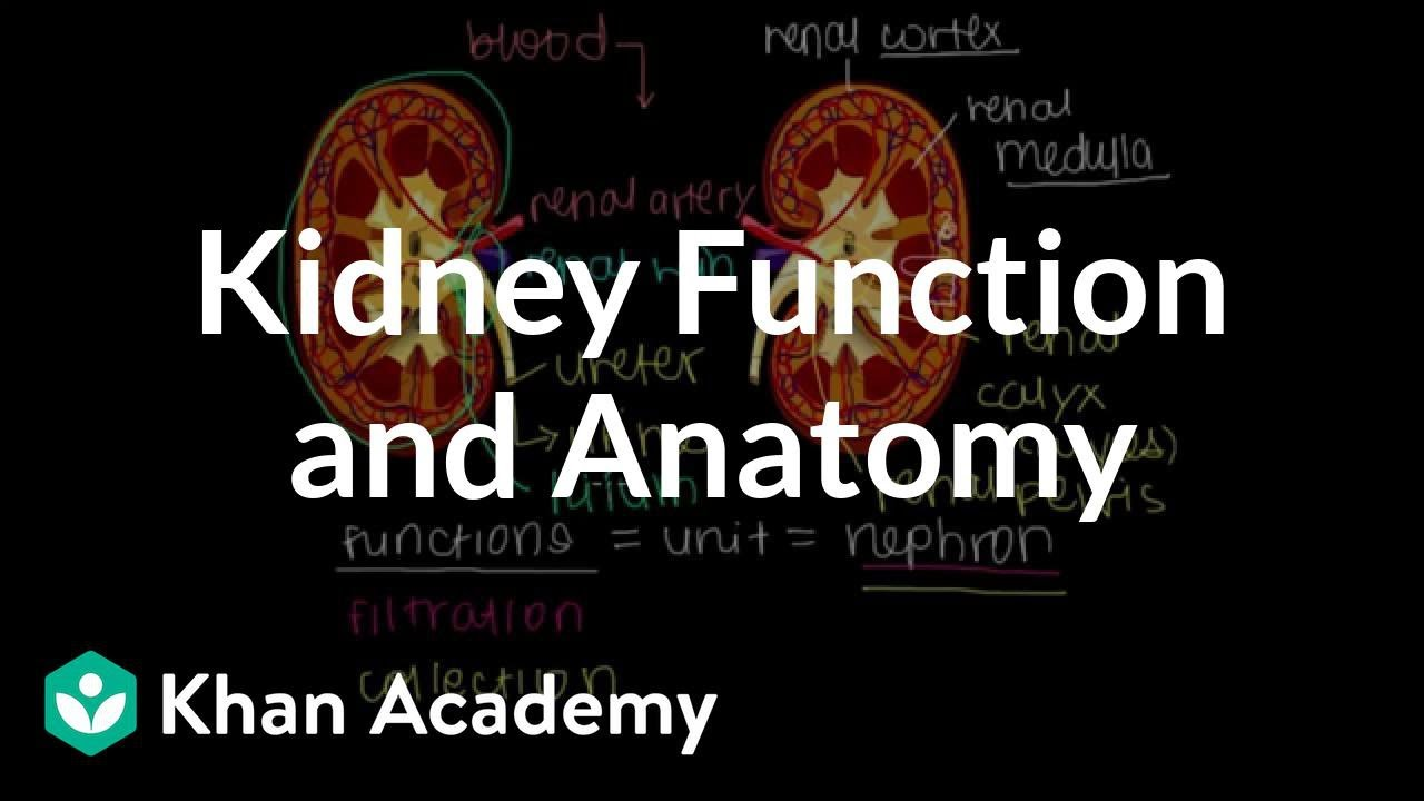 Kidney function and anatomy | Renal system physiology | NCLEX-RN ...