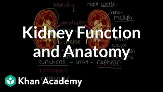 Kidney function and anatomy | Renal system physiology | NCLEX-RN | Khan Academy thumbnail