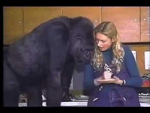 People Talk to Gorillas.... A Conversation With Koko