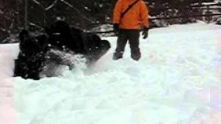 2011.2.12 ニューファンドランド4頭で雪遊び。雪の降リ続くパウダースノ...