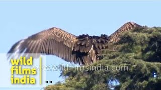 Rare and Strange Vulture behaviour in the Himalaya