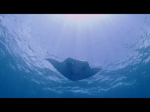ポンペイ島南部のマンタポイント「ロス」 Diving with Manta Rays in Pohnpei island,Federated States of Micronesia (FSM).