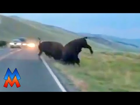 Bison fight in middle of Yellowstone road