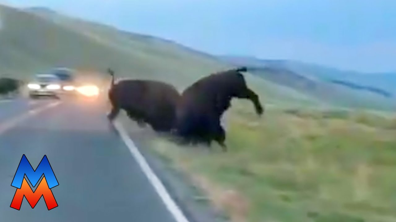 Download Bison fight in middle of Yellowstone road