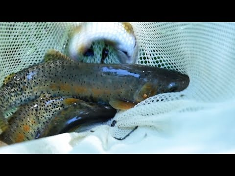 Preserving the Greenback Cutthroat Trout