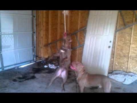 My 8 month old pitbullls puppies spring poling