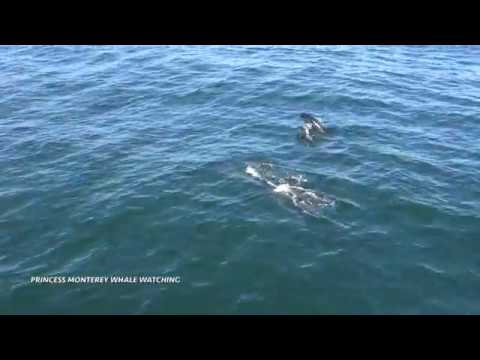 Northern Right Whale  Dolphins, Monterey Bay 6/10/17