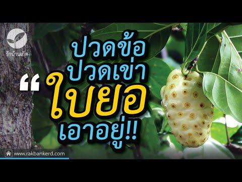 สมุนไพรใบยอรักษาอาการปวดข้อ ปวดเข่า สุดยอดสมุนไพรไทย