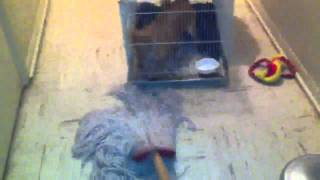 Pomeranian Puppy Goes Crazy Over Mop!