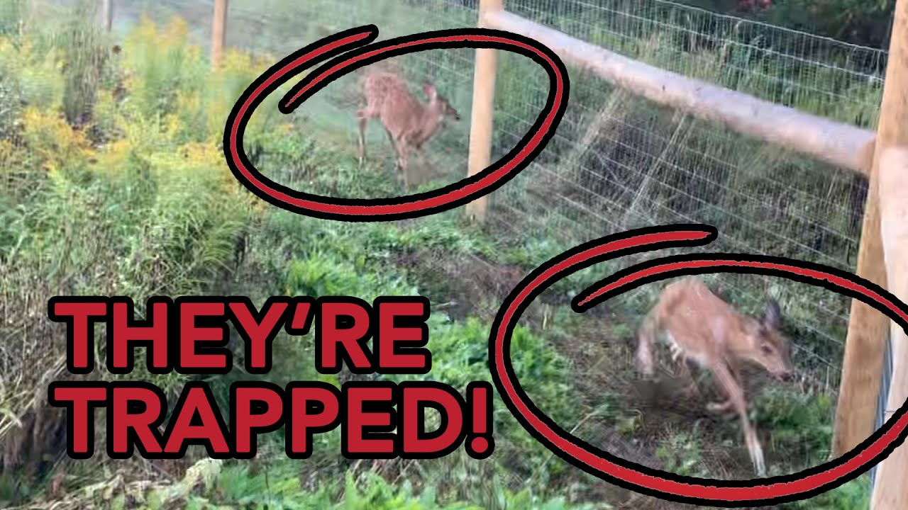 I Accidentally Trapped Two Fawns (SAVE THEM!)