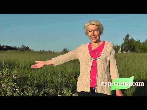 Шиповник - полезные свойства и противопоказания