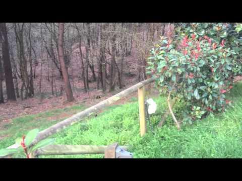 Corzos pastando en Asturias,